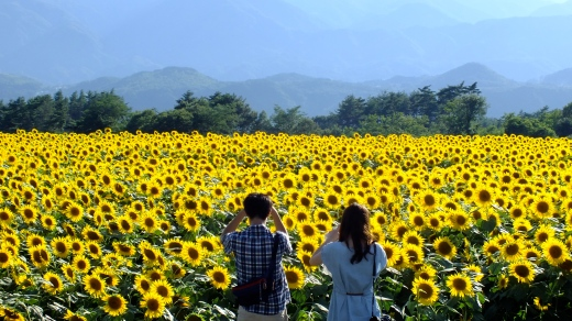 couple enjoying sunflowers