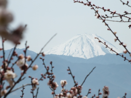 Mt. Fuji with cherries